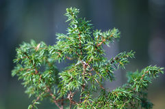Juniper Shrub Stock Image