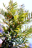 Juniper shrub Stock Images