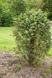 Juniper shrub Stock Photography