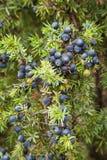 Juniper shrub with blue berries Stock Photo