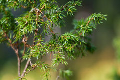 Juniper Shrub .Close-up Royalty Free Stock Photos