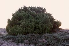 Juniper Shrub with frost in the early morning with fog Stock Image