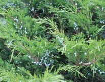 Juniper shrub in the garden Stock Photo