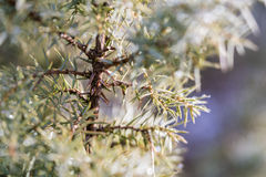 Juniper shrub needles Stock Image