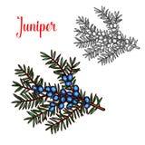 Juniper vector sketch exotic plant fruit icon. Juniper sketch color isolated icon. Vector botanical sketch design of exotic Juniper or Juniperus cypress plant stock illustration