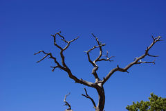 Juniper snag and blue sky Royalty Free Stock Photography
