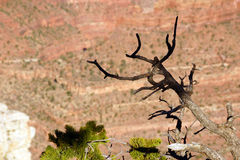 Juniper snag, looking north over the Grand Canyon Stock Photography