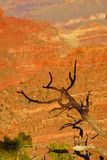 Juniper snag, looking north over the Grand Canyon Royalty Free Stock Image