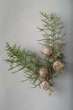 Juniper Royalty Free Stock Photos