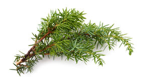 Juniper sprig isolated Stock Images