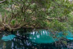 Juniper Springs and live oak tree Ocala National Forest
