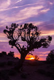 Juniper in Sunset Royalty Free Stock Photos