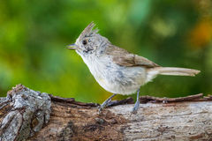 Juniper Titmouse. Adult Juniper Titmouse Perched On Old Tree Stump Stock Photography