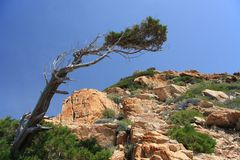 Juniper tree. Mediterranean juniper tree grown in a mountains of granite Royalty Free Stock Image