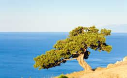 Juniper tree Royalty Free Stock Images