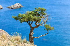 Juniper tree Stock Photo