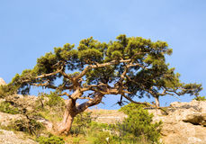 Juniper tree Royalty Free Stock Photography