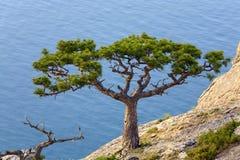 Juniper tree Royalty Free Stock Image