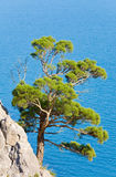 Juniper tree. On rock on sea surface background (Novyj Svit reserve, Crimea, Ukraine stock photos