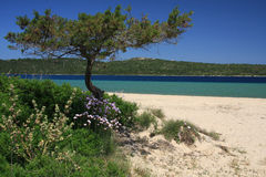 Juniper tree. Grown in a beautiful mediterranean beach Royalty Free Stock Photo