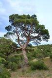 Juniper tree stock photography