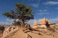Juniper tree. In Bryce Canyon - UTAH royalty free stock photo