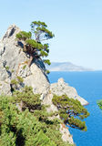 Juniper tree. On rock (Novyj Svit reserve, Crimea, Ukraine stock photography