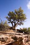 Juniper Tree Royalty Free Stock Photos