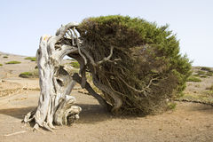 Juniper tree. Juniperus phoenicea, the Phoenicean Juniper tree or Arar, in El Sabinar, El Hierro, Canary Islands, Spain stock images
