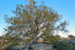 Juniper tree. Old twisted juniper tree at Montezuma's Well Arizona USA royalty free stock photo