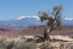 Free Juniper Tree Stock Photography - 45366602