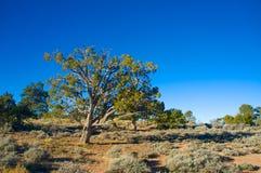 Juniper Tree in Arizona Royalty Free Stock Images