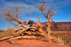 Juniper tree Arizona Monument Valley Stock Images