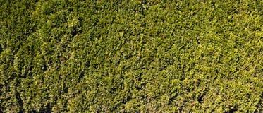 Juniper tree branch texture green needle background. Juniperus communis bush is evergreen coniferous tree as background. Background with juniper branches grow stock image
