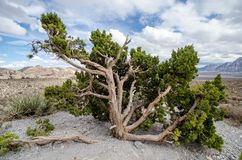 Juniper tree bush at Red Rock Canyon National Conservation Area. In nevada stock photo