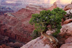 Juniper Tree and Canyon Stock Photo