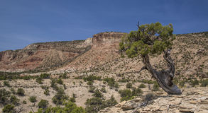 Juniper Tree and Cedar Mountain in Utah Royalty Free Stock Images