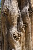 Juniper tree close-up of the trunk at Soda Canyon Overlook Trail stock images