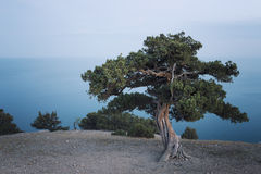 Juniper tree. Crimea coastline, Ukraine royalty free stock photo