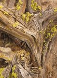 Juniper tree detail in late afternoon. Redmond Oregon tree remnant in late late afternoon royalty free stock photography