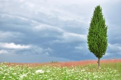 Juniper tree in a field. Standing alone in a field of juniper tree and approaching storm clouds royalty free stock image