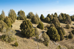 Juniper tree forest Royalty Free Stock Photo