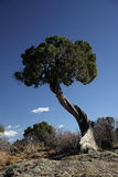 Juniper tree at GrandCanyon overlook Stock Photo