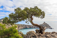 Juniper tree. Grows in the Crimea in the New World stock photos