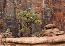 A juniper tree grows by itself on an outcrop of yellow sandstone on the Overlook trail in Zion national park Utah. Red cliffs and a temporary waterfall form royalty free stock photo
