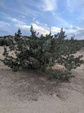 Juniper Tree. In the afternoon royalty free stock images
