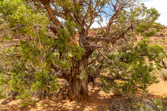 The Juniper Tree Royalty Free Stock Images