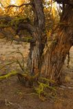 Juniper tree in late afternoon. Redmond Oregon tree remnant in late late afternoon stock photo