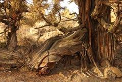 Juniper tree in late afternoon. Redmond Oregon tree remnant in late late afternoon stock photography