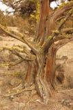 Juniper tree in late afternoon. Redmond Oregon tree remnant in late late afternoon stock images
